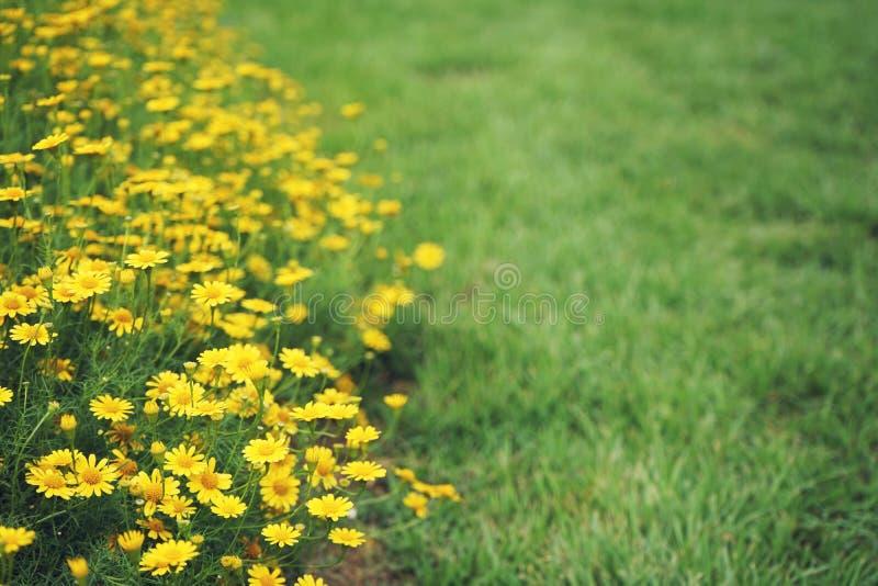 野花黄色雏菊种植农作物有绿色草坪背景 库存照片