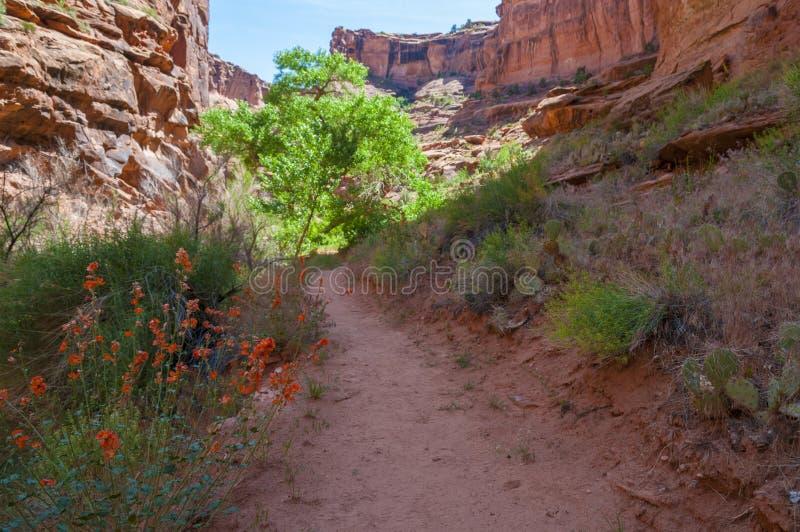 野花-猎人峡谷供徒步旅行的小道默阿布犹他 库存照片