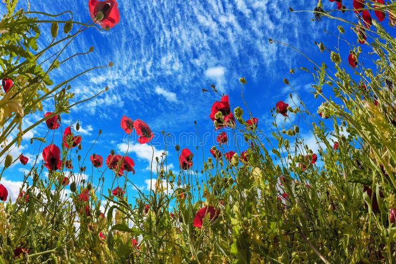 野花-红色银莲花属 库存照片