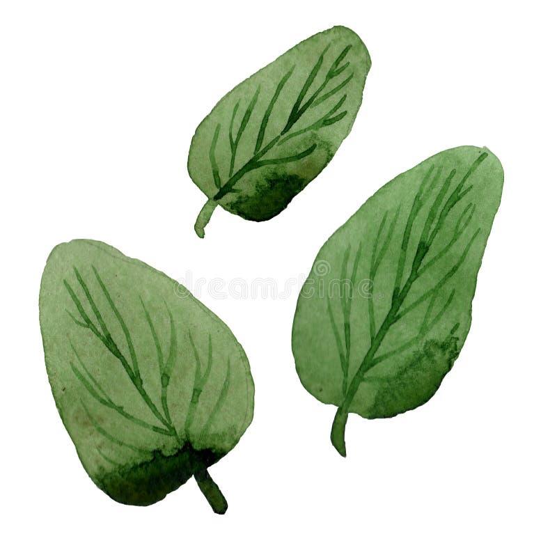 野花aquilegia在水彩样式的花叶子被隔绝的 向量例证