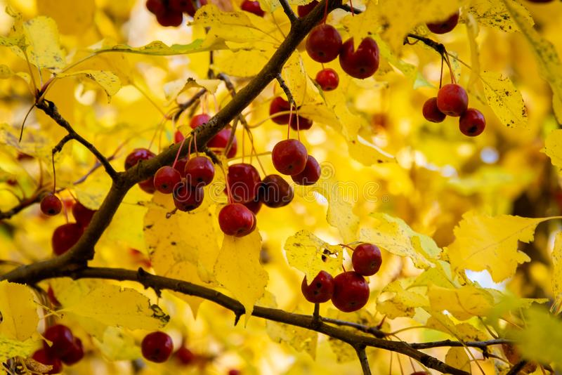野苹果树在俄国森林里 库存照片