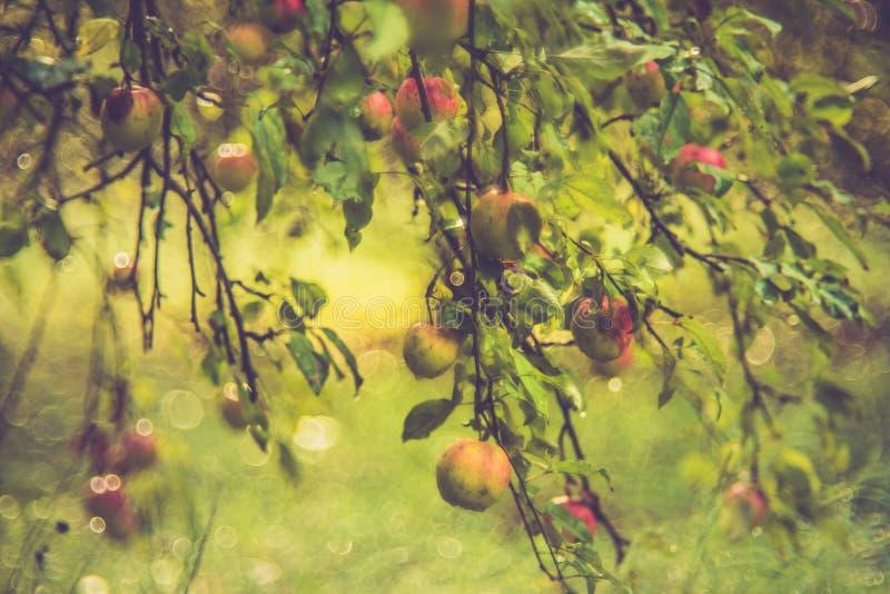 野苹果树在森林里 免版税库存照片
