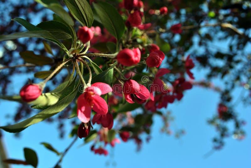 野苹果树有绿色叶子的桃红色开花在蓝色春天天空模糊的背景 免版税库存图片