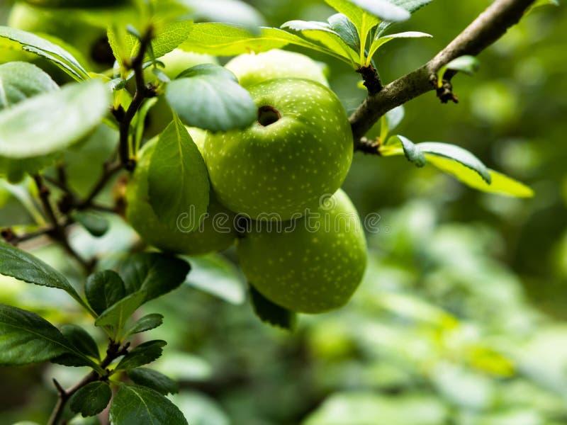 野苹果罗盘星座sylvestris年轻,未开展的果子  免版税库存照片