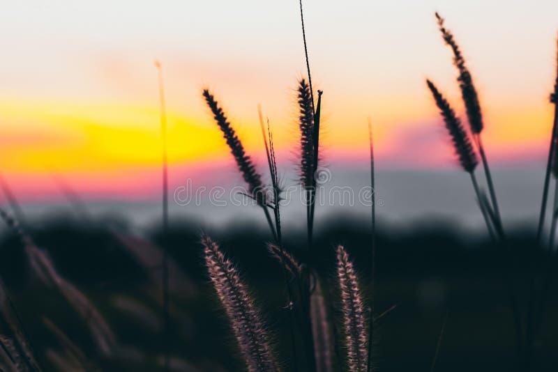 野草的宏观图象,小景深 葡萄酒作用 美好的农村在金黄夏天日落的自然野草 图库摄影
