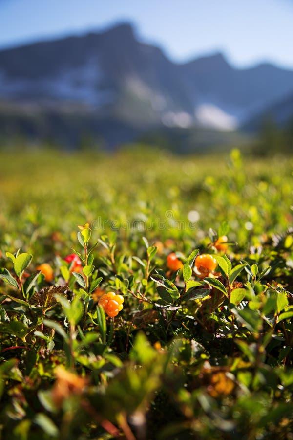 野草莓在森林北卡累利阿区里增长 图库摄影