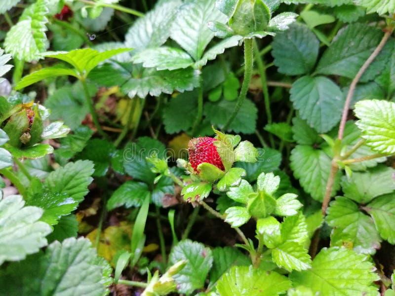 野草莓本质上 库存照片