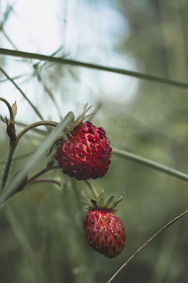 野草莓灌木在绿草的 库存照片