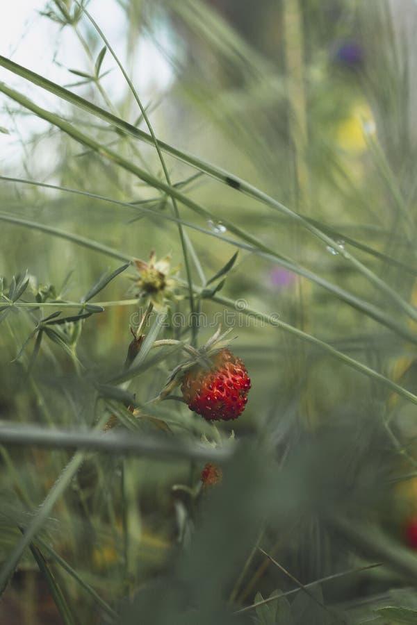 野草莓灌木在草的 库存照片