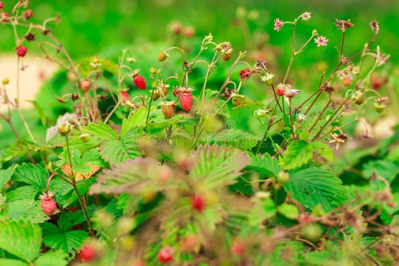 野草莓灌木 库存图片