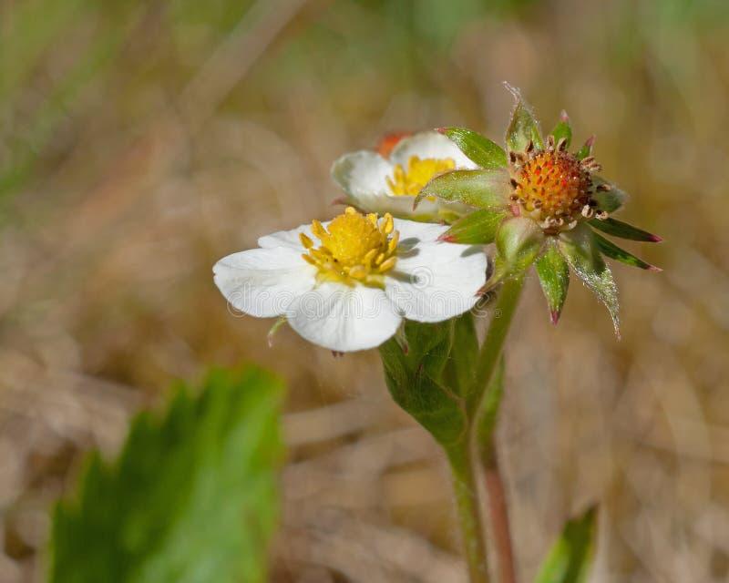 野草莓花,草莓属vesca 免版税图库摄影