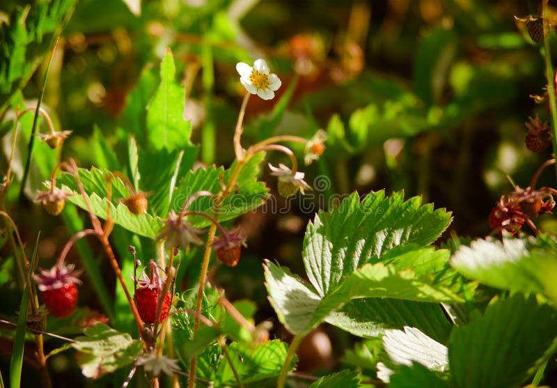 野草莓花 免版税库存照片