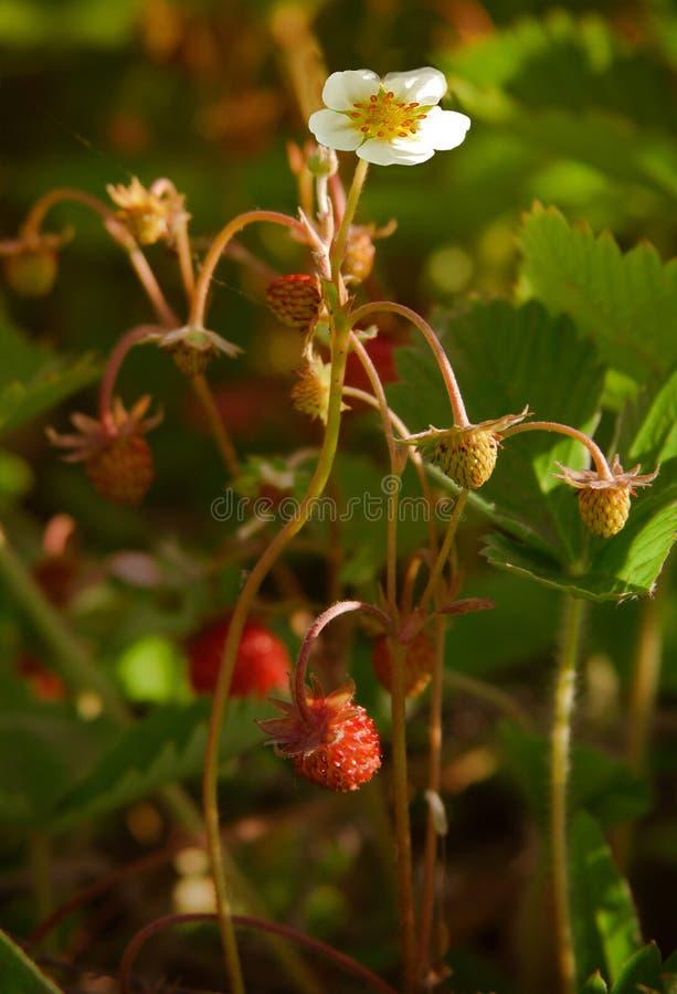 野草莓花 免版税库存图片