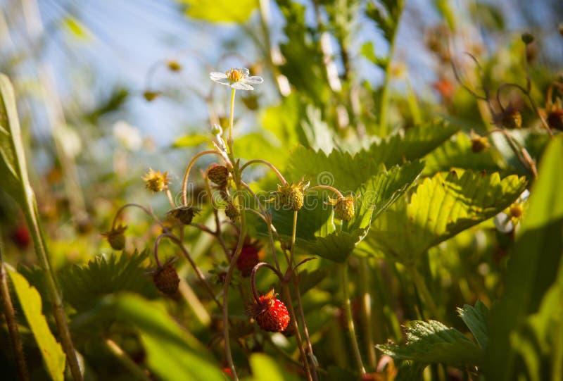 野草莓花 免版税图库摄影