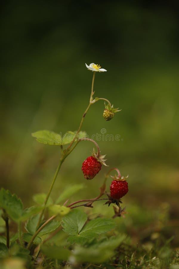 野草莓,草莓属vesca 库存照片