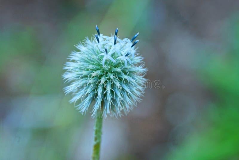 野葱的白色圆的芽在一个绿色词根的 免版税图库摄影