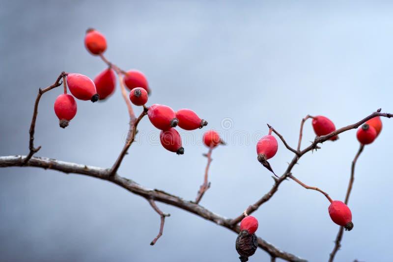 野蔷薇,狂放的玫瑰果 库存图片