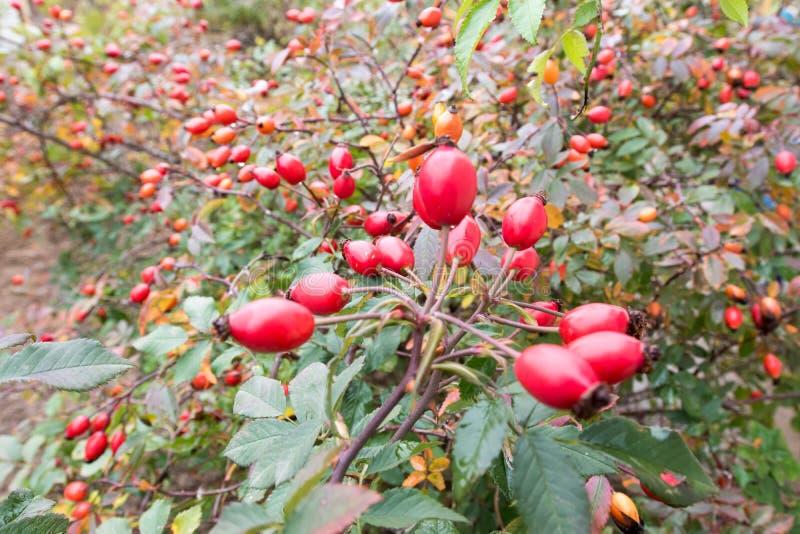 野蔷薇,野生玫瑰果灌木本质上,秋天,维生素 免版税库存照片
