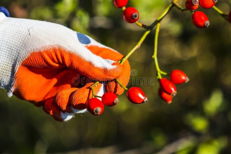 野蔷薇,野生玫瑰果灌木本质上 库存图片