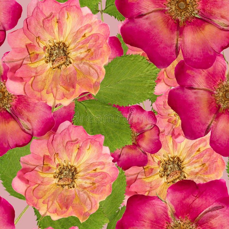 野蔷薇,野生玫瑰, 被按的干燥flowe无缝的样式纹理  皇族释放例证