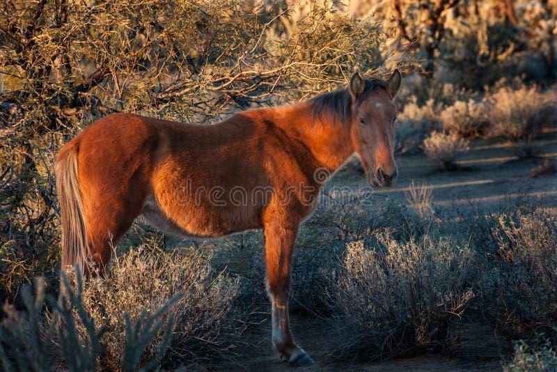 野马在亚利桑那沙漠 免版税库存照片