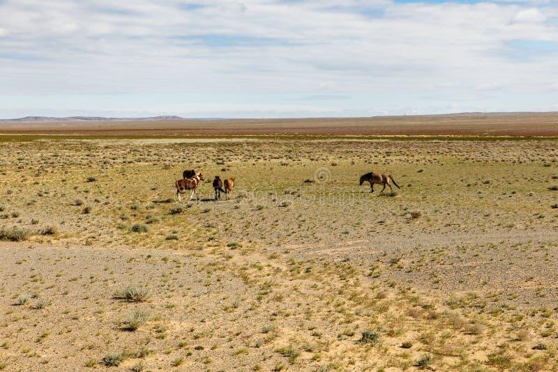 野马在戈壁,蒙古吃草 免版税库存照片