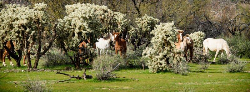 野马带在cholla仙人掌的 库存图片