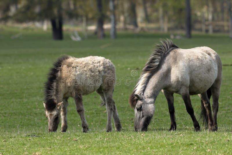 野马或Tarpan 库存照片