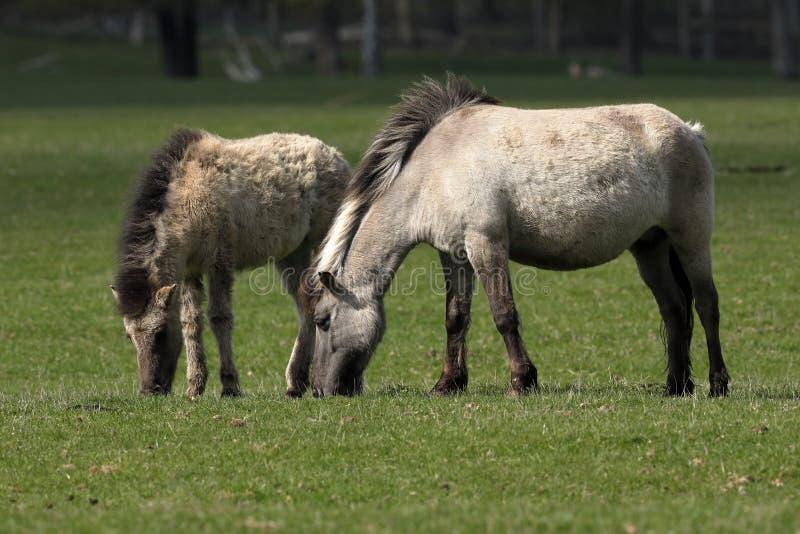 野马或Tarpan 库存图片