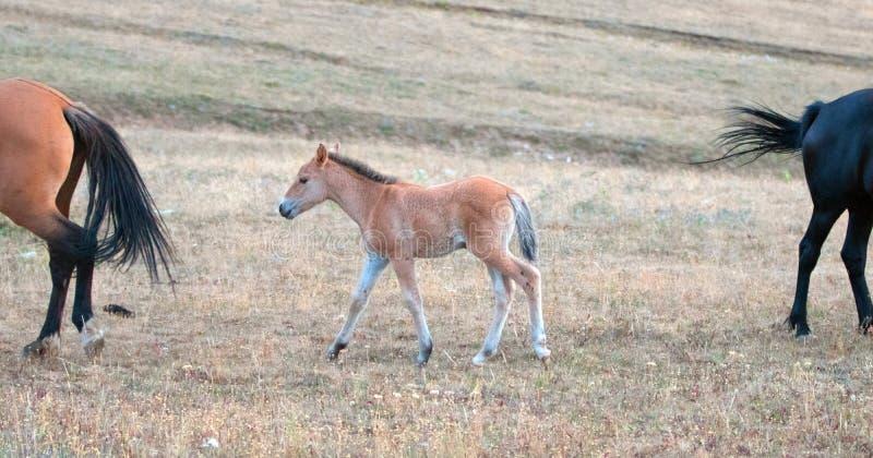 野马-小在赛克斯里奇的驹马驹在蒙大拿和怀俄明美国的边界的普莱尔山野马范围的 免版税图库摄影