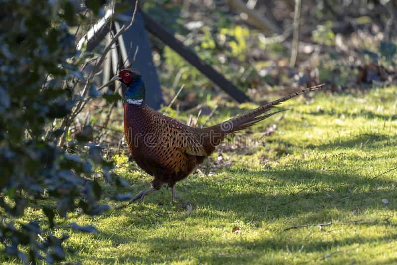 野鸡在早期的春天 免版税图库摄影