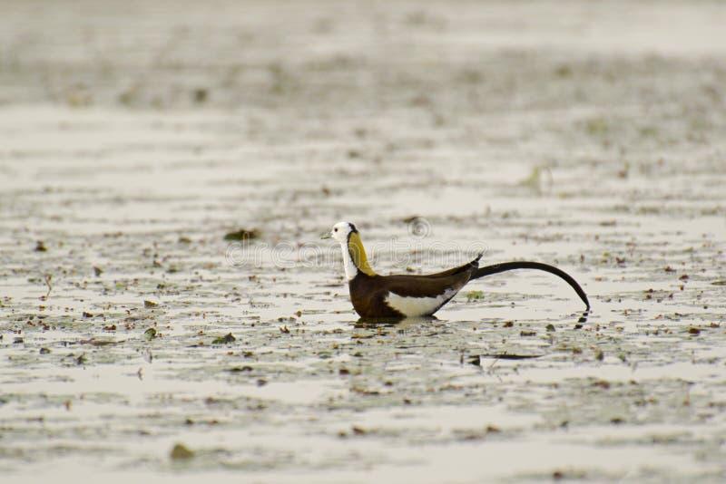 野鸡被盯梢的Jacana繁殖的全身羽毛 免版税库存照片