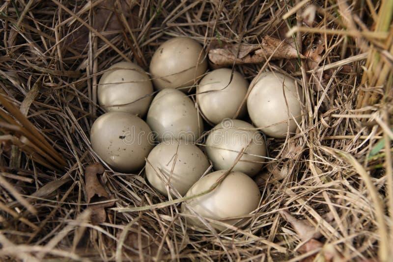 野鸡鸡蛋  库存图片