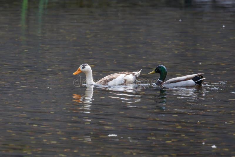 野鸭和家养的鸭子 免版税库存照片