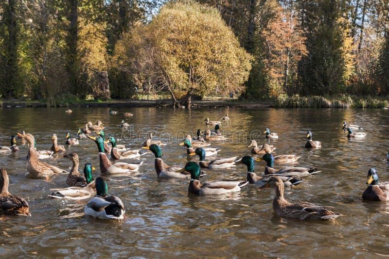 野鸭和雄鸭在都市秋天池塘停放等待的面包哺养 库存照片