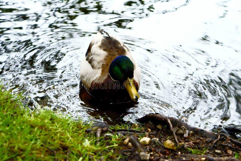 野鸭在一个池塘的鸭子游泳用绿色水 免版税库存照片