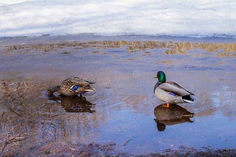 野鸭在城市公园在春天 免版税库存图片