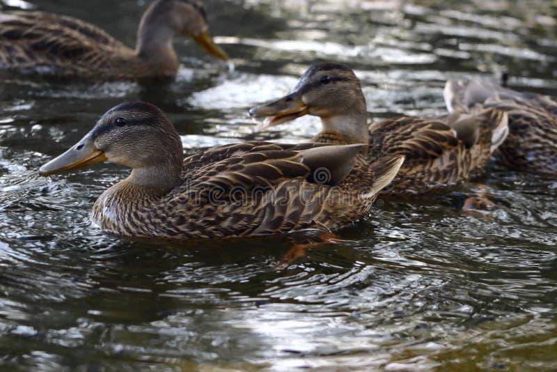 野鸭在城市水库沐浴 库存照片