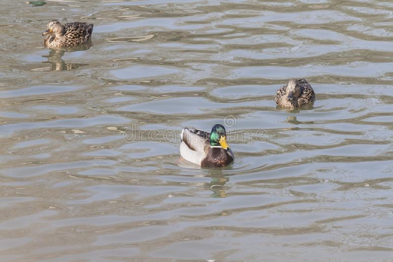 野鸭在池塘游泳 免版税库存图片
