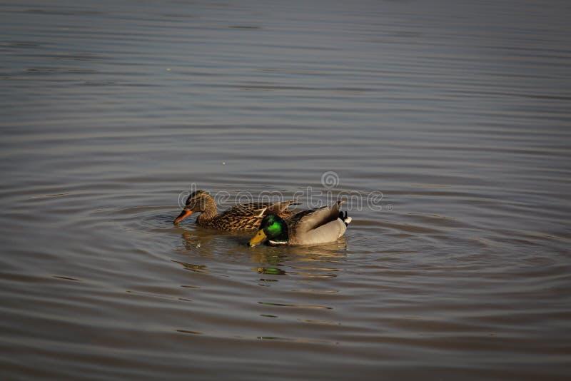 野鸭在河 库存照片