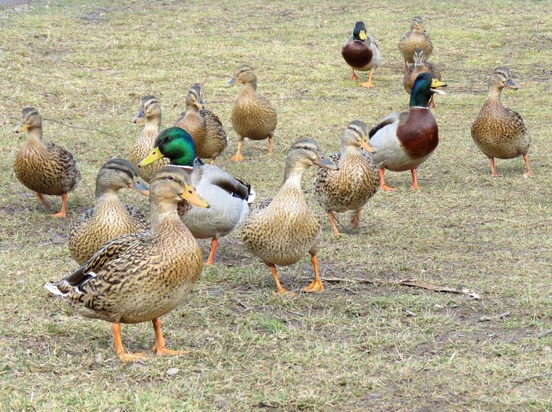 野鸭在草的村庄 库存图片