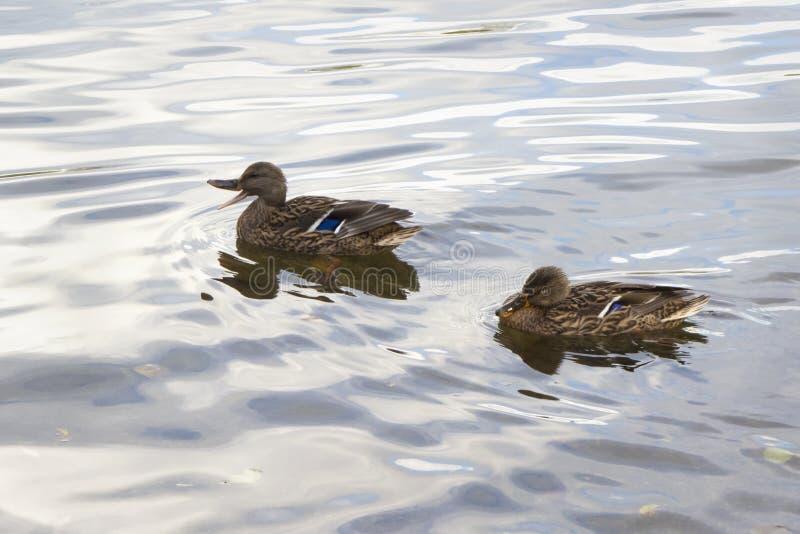 野鸭夫妇在闪烁水中低头在一个镇静湖 免版税库存照片