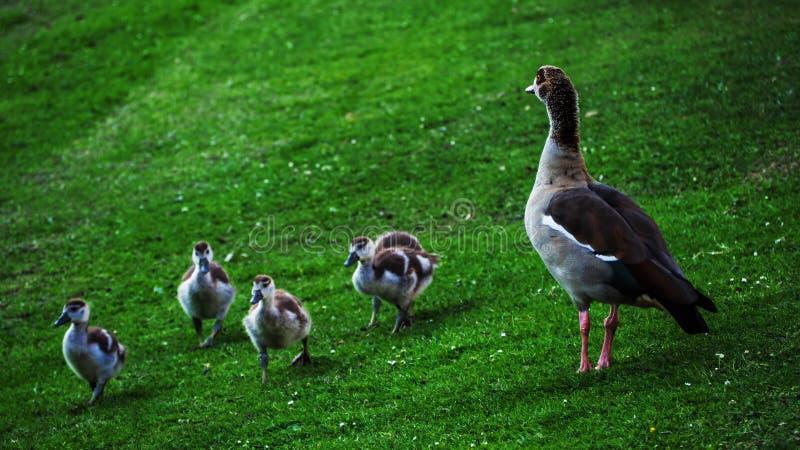 野鸭小家庭  免版税图库摄影