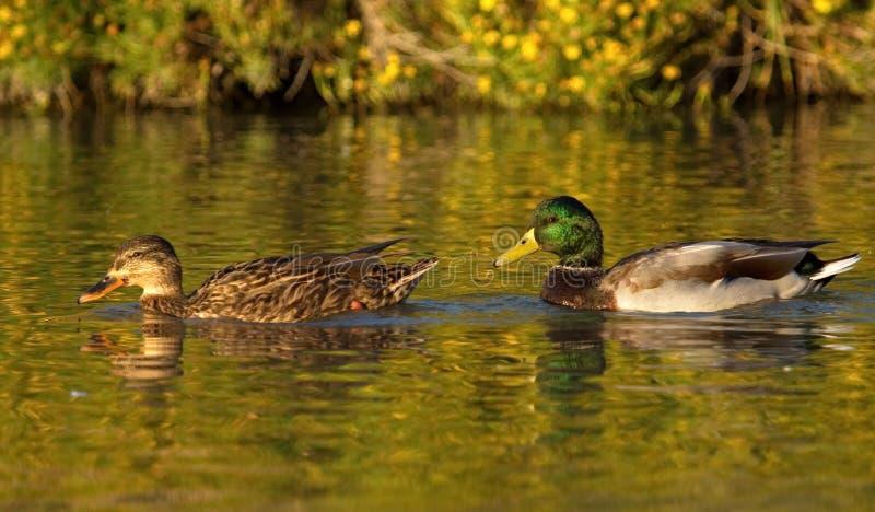 野鸭或野鸭夫妇,语录platyrhynchos 免版税库存图片