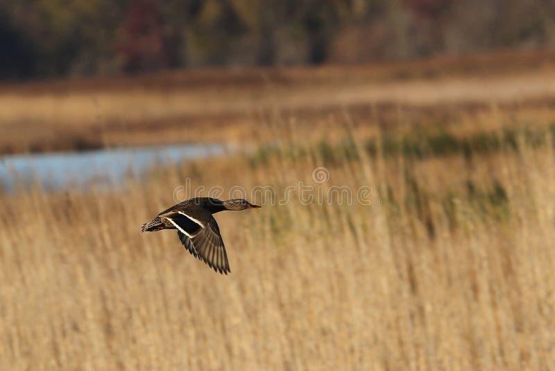 野鸭母鸡在飞行中在沼泽 免版税图库摄影