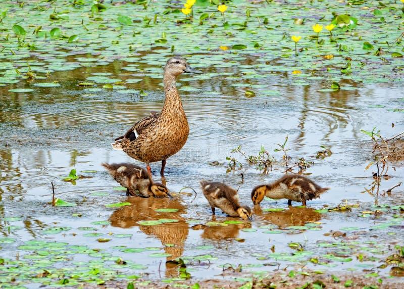 野鸭用鸭子-语录platyrhynchos,渥斯特夏,英国 免版税图库摄影