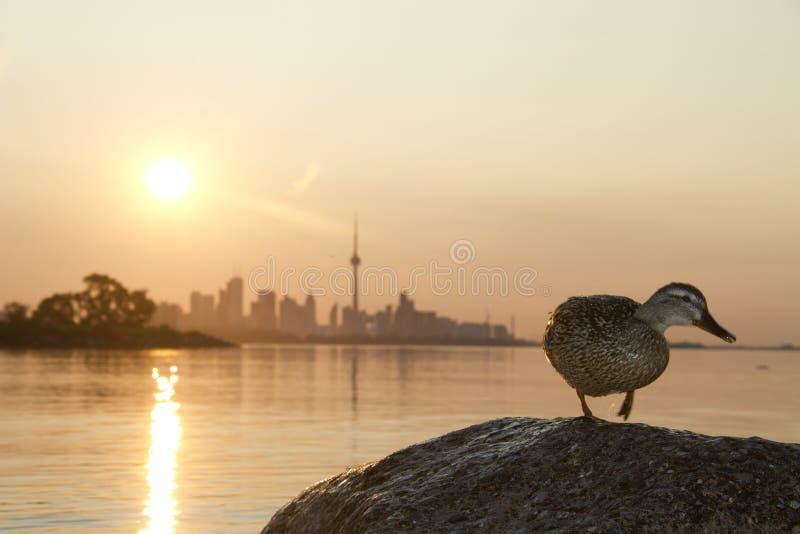 野鸭鸭子在多伦多 免版税库存照片
