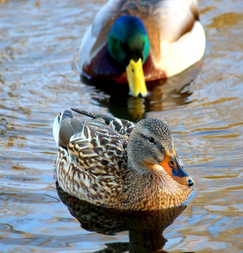 野鸭鸭子夫妇低头游泳 免版税库存照片