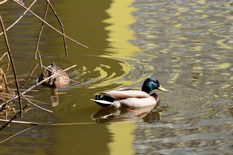 野鸭鸭子夫妇在池塘游泳 库存照片