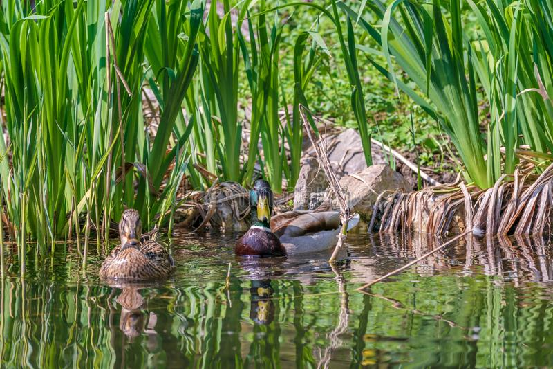 野鸭鸭子夫妇游泳在湖 库存照片